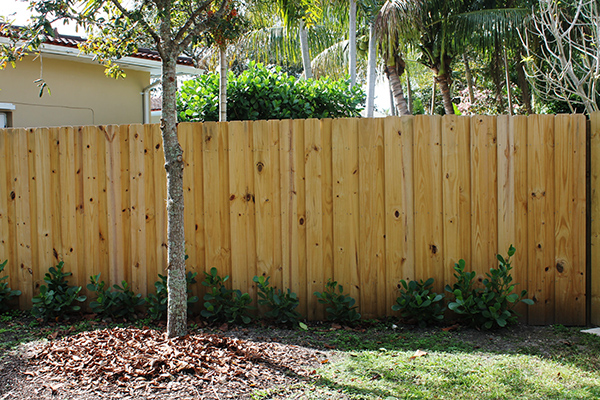 South Florida Landscape - Directions Not Included - Clusia hedge